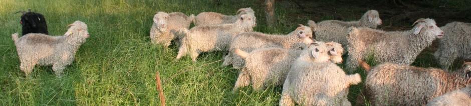 Livestock for Sale | Eastern Angora Goat & Mohair Association